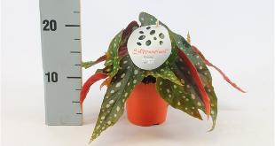 Kamerplant Begonia Maculata de tuinwinkel online
